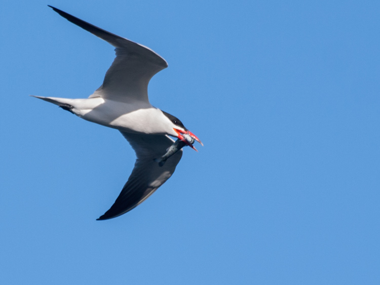 Caspian Tern with Salmon Smolt in Seattle