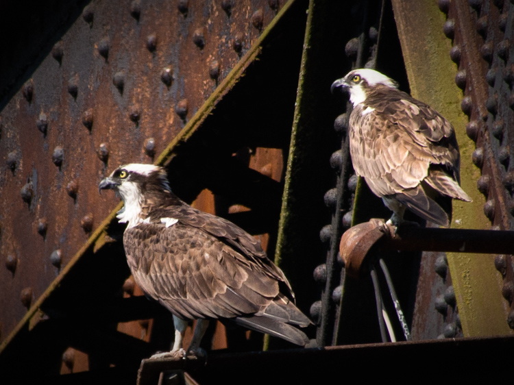 Osprey Pair at Ballard Locks