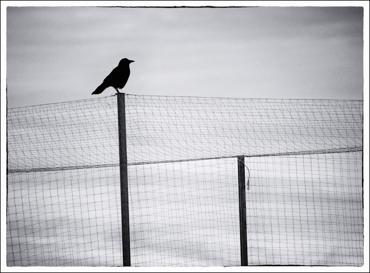 Crow on fence in black and white
