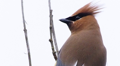 Waxwing Solo
