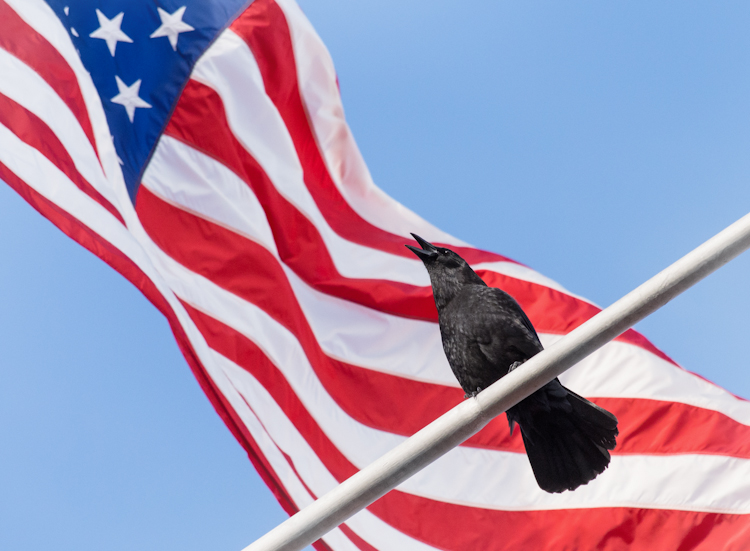 An American Crow in Seattle