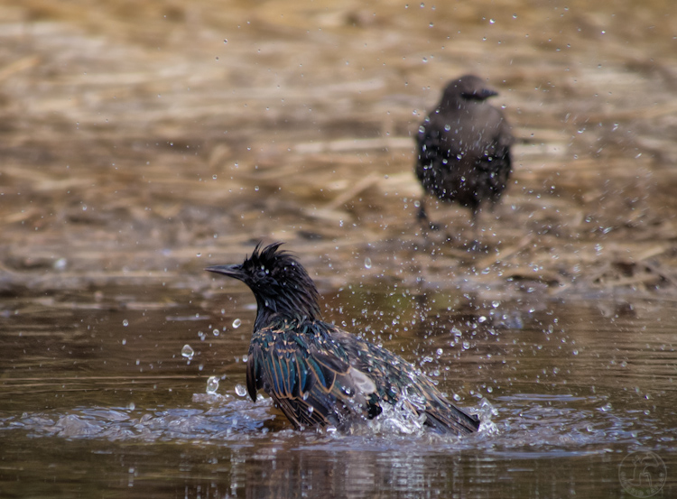Starlings bathing in a puddle