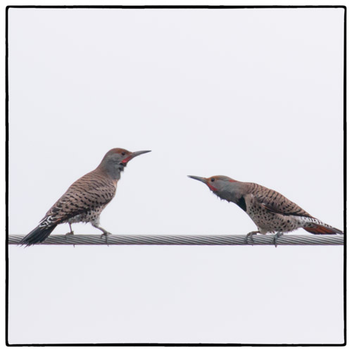 Northern Flickers Territorial Display