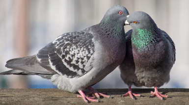 Pigeon Pair Courtship