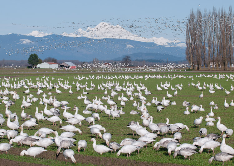 Snow Geese on Fir Island Washigton