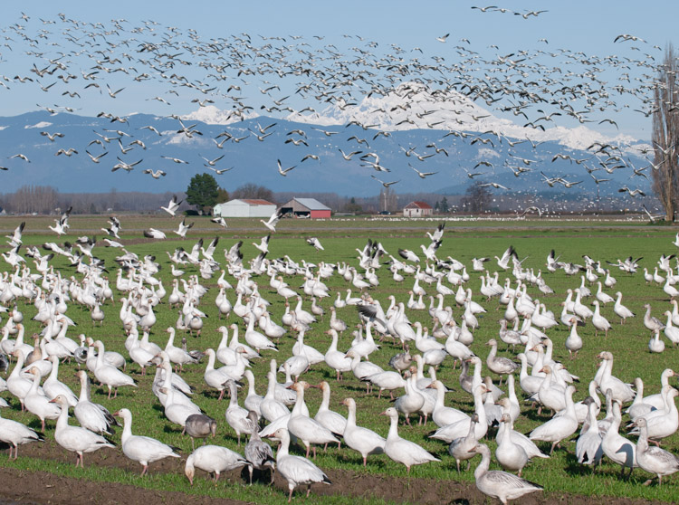 Snow Geese Flying against Mt. Baker Washington