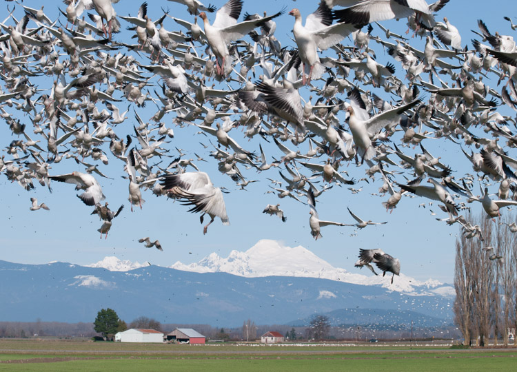 Snow Geese flying on Fir Island