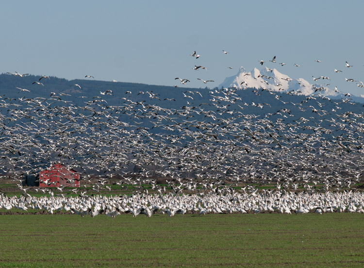 Snow Geese in Skagit County