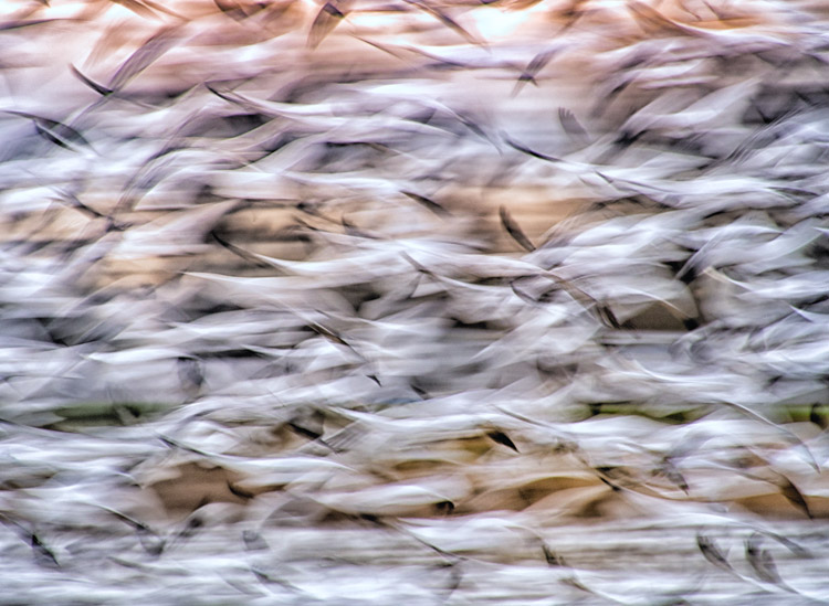 Snow Goose Blur on Fir Island
