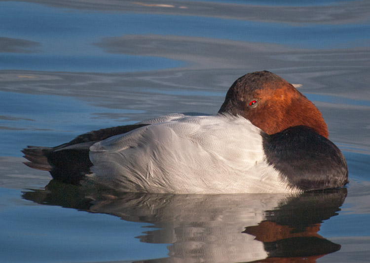 Canvasback Duck Sleeping