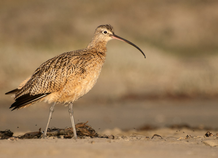Long-billed Curlew on Morro Strand Beach California