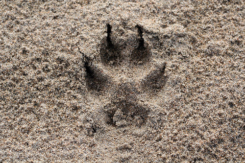 Coyote Print by Jacob Kirkland