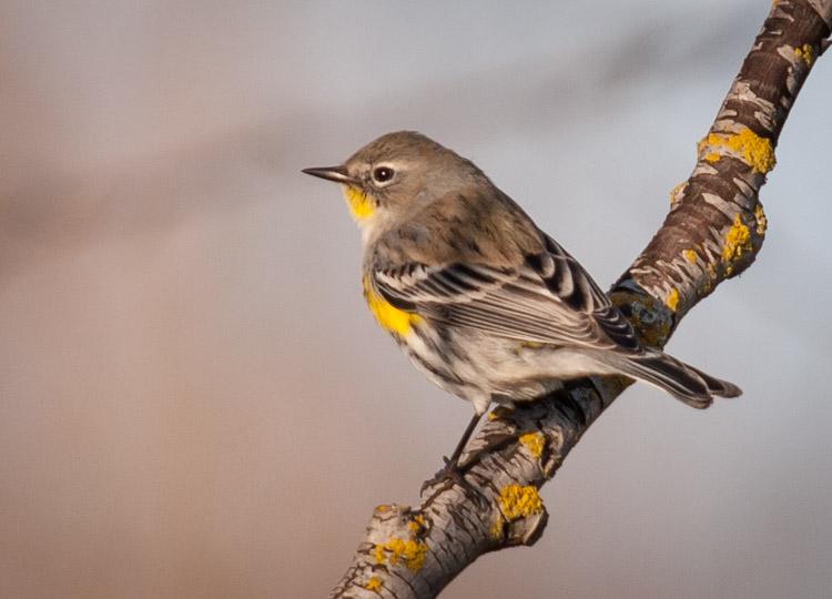Yellow-rumped Warbler at Montlake Fill