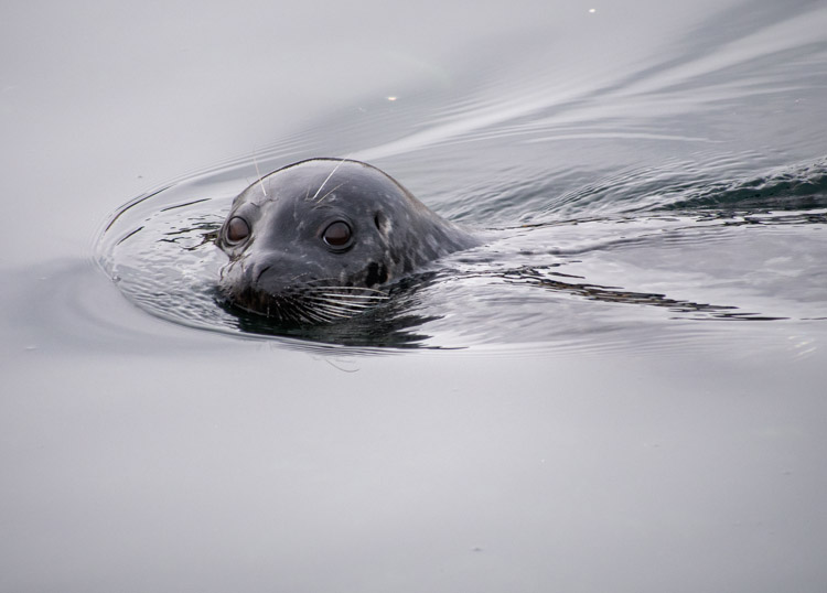 Harbor Seal Swimming on Puget Sound Seattle