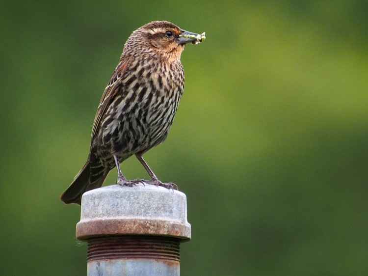 Female Red-winged Blackbird with insects