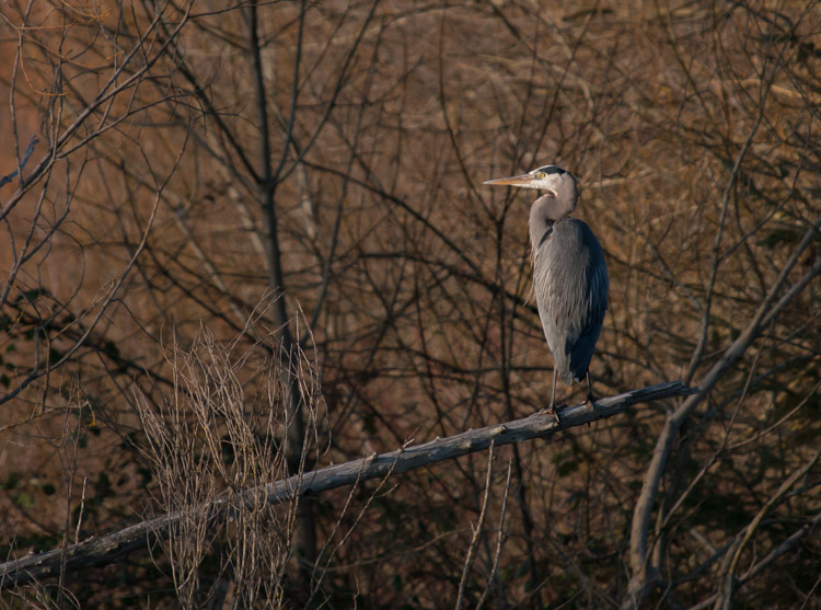 Great Blue Heron habitat at Union Bay Natural Area in Seattle