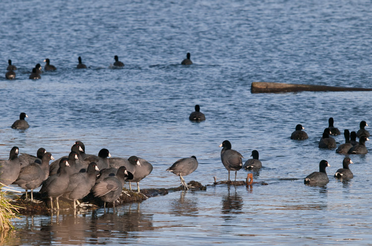 American Coots on Union Bay Seattle