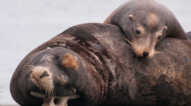 Thumbnail image for Sea Lion Branding in Oregon
