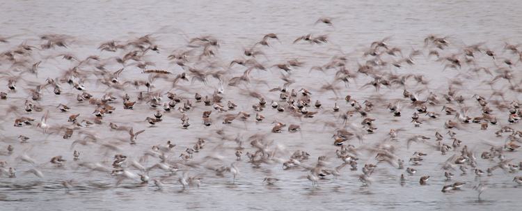 sandpiper flock in flight at Grays Harbor NWR