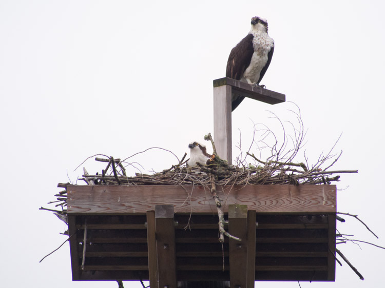 Osprey Pair at Ballard Locks 2013