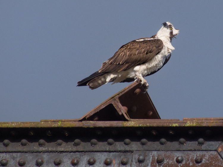 Male Osprey at Ballard Locks Seattle 2013
