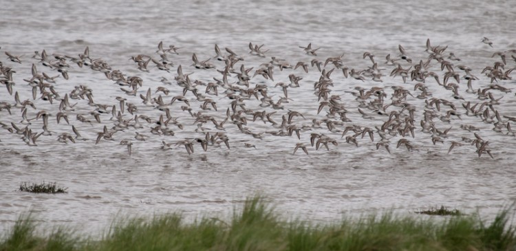 The Sandpiper Trail at Grays Harbor NWR
