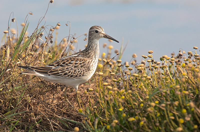 Pectoral Sandpiper at Eide Road Skagit County