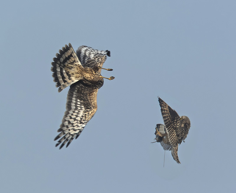 Short-eared Owl and Northern Harrier - © Marlin Greene