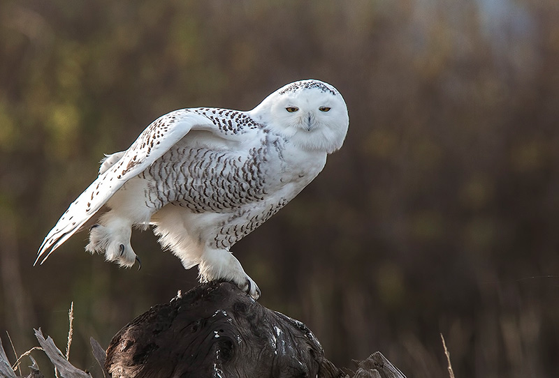 Snowy Owl at Eide Road