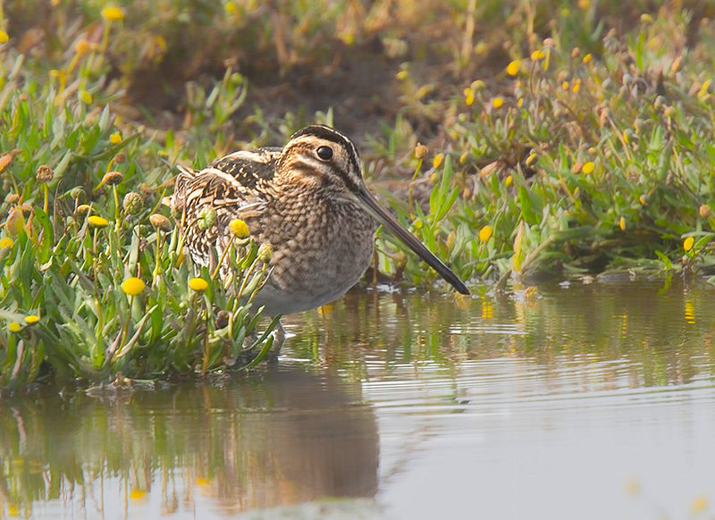 Wilson's Snipe at Eide Road Skagit County