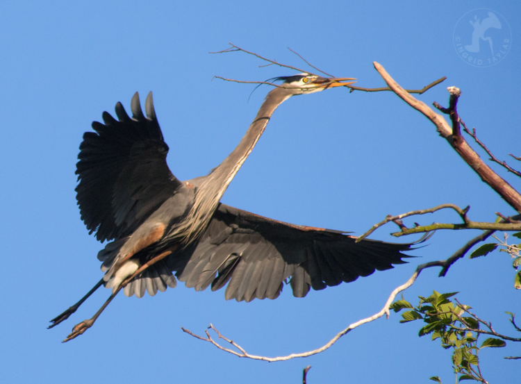 Heron at Ballard Locks Rookery
