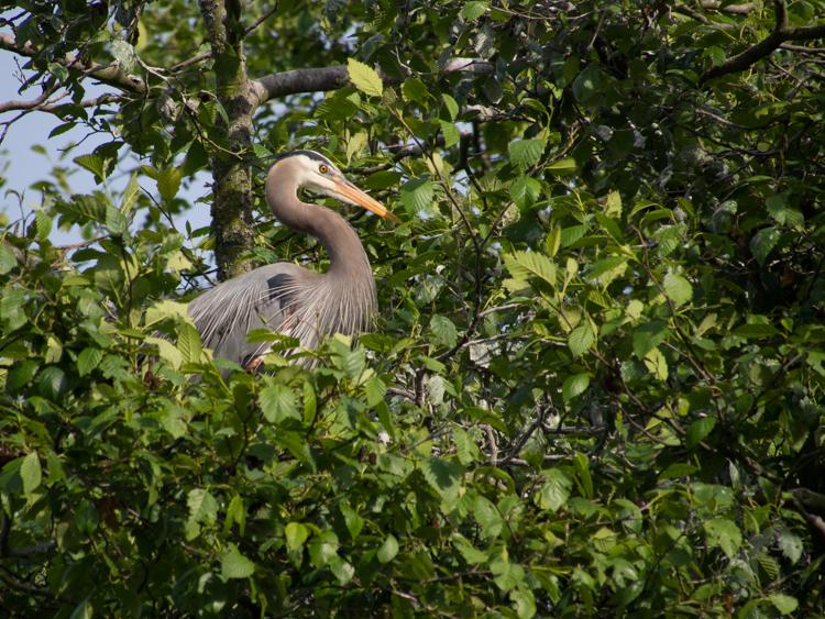 Great Blue Heron in Seattle Rookery