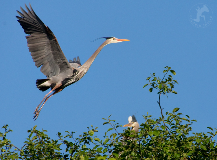 Great Blue Herons at Ballard Locks Seattle