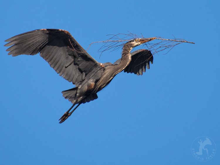 Heron Building Nest in Seattle Rookery