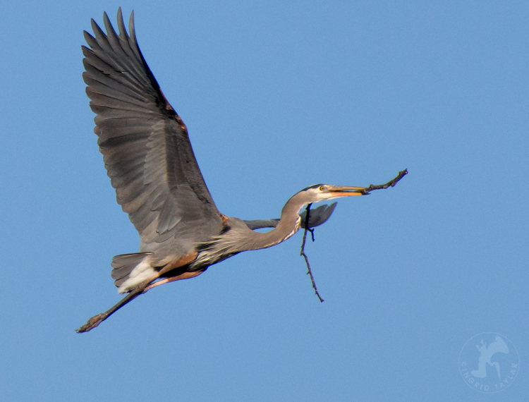 Heron Building Nest at Commodore Park