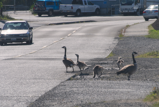 Goose Crossing - ©ingridtaylar