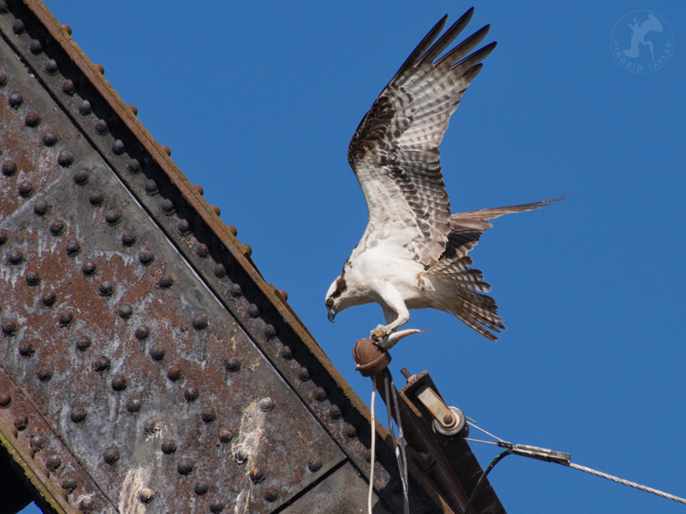 Osprey on Railroad Bridge at Ballard Locks