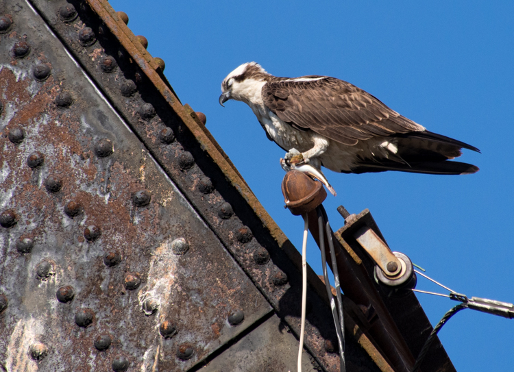 Osprey Napping with Fish in Seattle