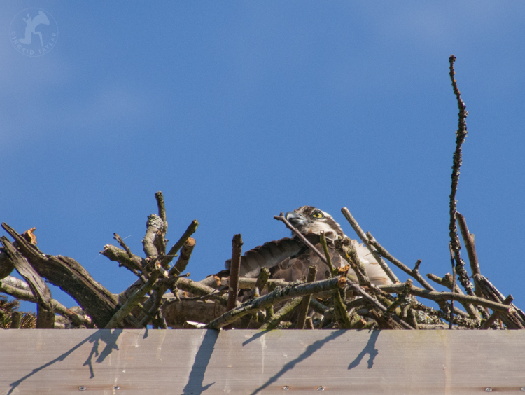 Osprey on nest at Ballard Locks