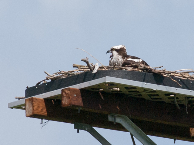 Female Osprey on Duwamish nesting platform