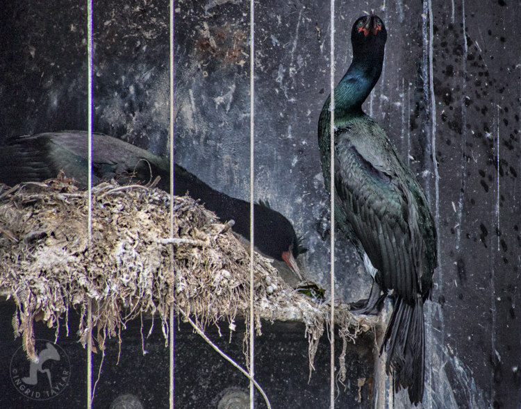 Pelagic Cormorants Building Nest in Washington State