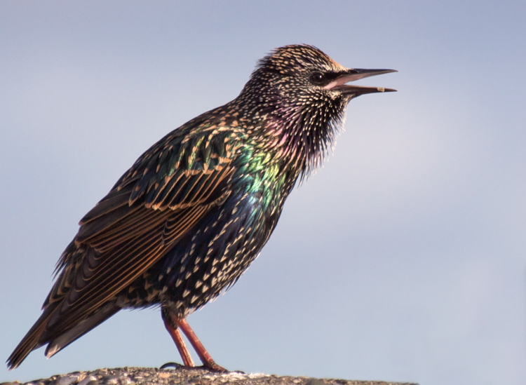 Starling Singing in Seattle