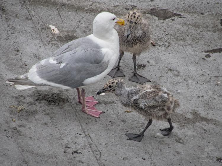 Gull feeding chicks on rooftop