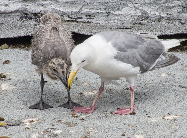 Gull chick asking for food from parent