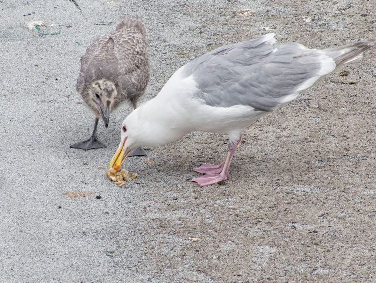 Gull Parent Feeding Chick - ©ingridtaylar