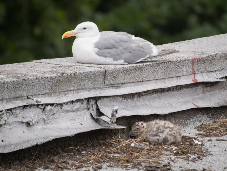 Gull and chick in Seattle