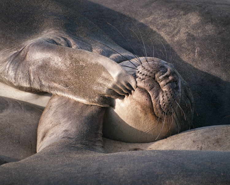 Young Elephant Seal Sleeping at Piedras Blancas - ©ingridtaylar