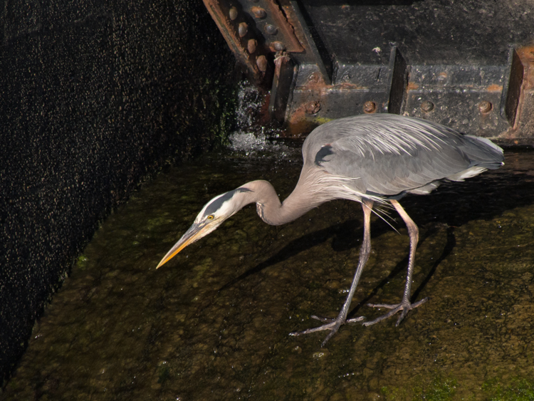 Heron on the Spillway - ©ingridtaylar