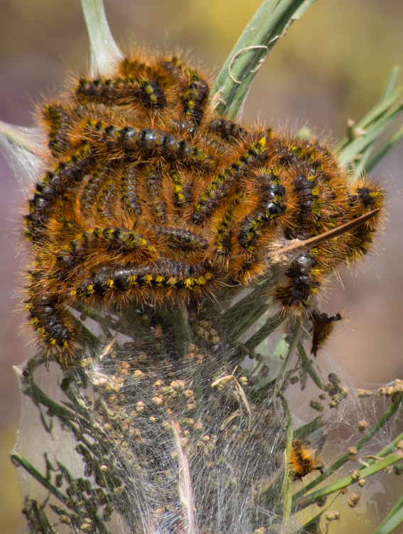 Tent Caterpillars in Washington