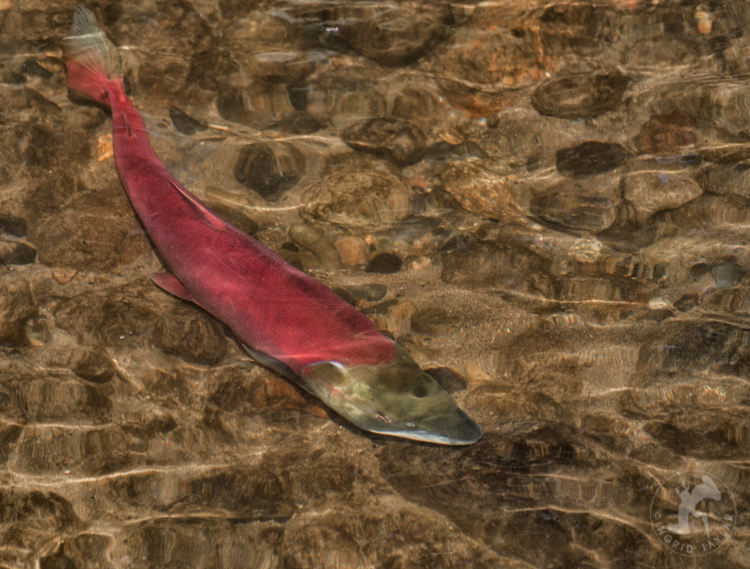 Red Sockeye Salmon in Washington